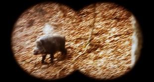 wild-boar-hunting-slovakia